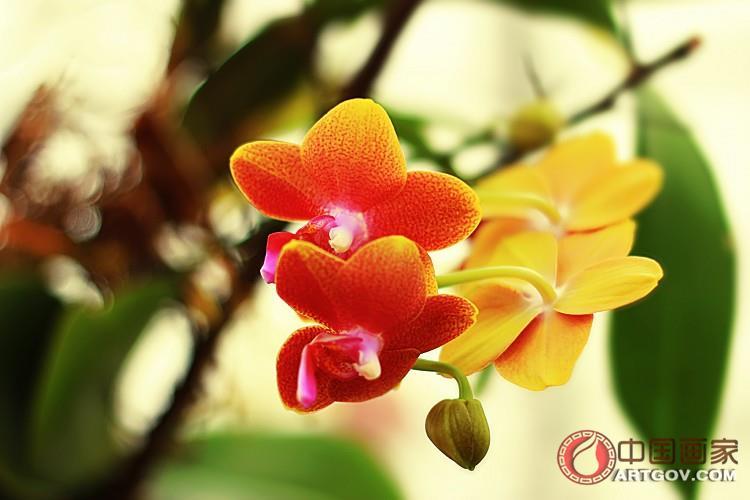 天下收藏_迎春花卉